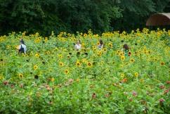 SunflowerFieldCloseUp
